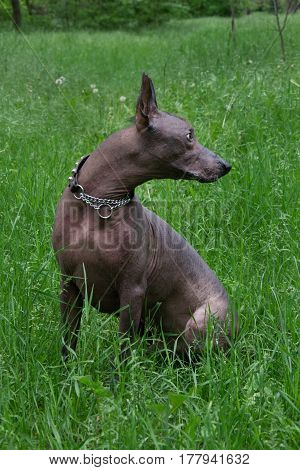 Horizontal portrait of a dog breed Xoloitzcuintli, the Mexican hairless dog black standard-size, full-length, povort right head on a green background with green grass and trees in the background