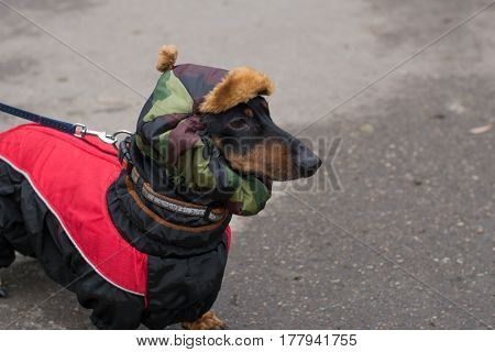 Vertical portrait of a black dog breed dachshund on the street on a background of gray asphalt, a winter hat and khaki red and black jacket with a collar