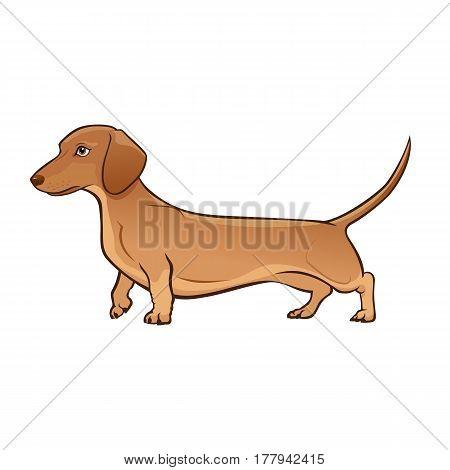 Light Brown Dachshund Dog. Dog vector illustration. Dachshund on white