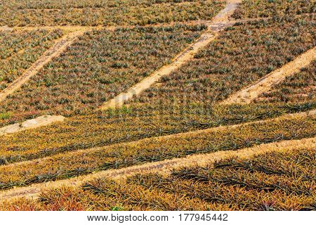Pineapple plantation in Northern Thailand