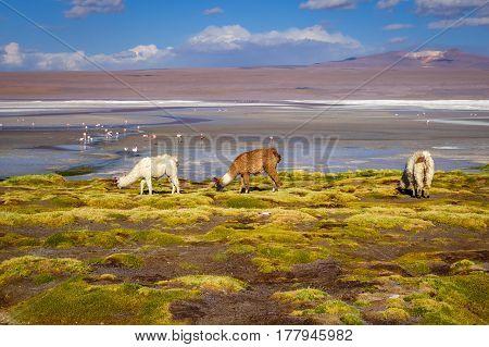 Lamas herd in Laguna colorada sud Lipez Altiplano reserva Eduardo Avaroa Bolivia poster