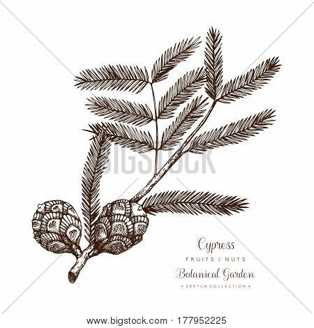 Hand drawn tree sketch on white background. Vector conifer plant.