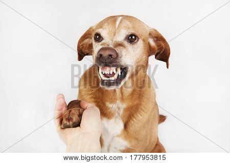 Unfriendly hand and paw shake, a brown dog on the bright background.