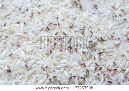 dark brown color of bugs or moth in raw rice, pest, snout beetles, insects that eat and destroy raw rice in white bag.