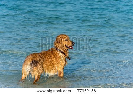 A Golden Retriever Dog Playing Fetch In The Sea.