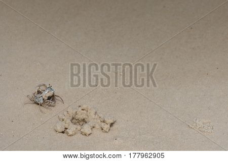 Two Small Crabs Battle On The Sandy Beach.