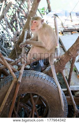 Wild monkey sitting on a mangrove tree Khao Sam roi Yot national park Thailand