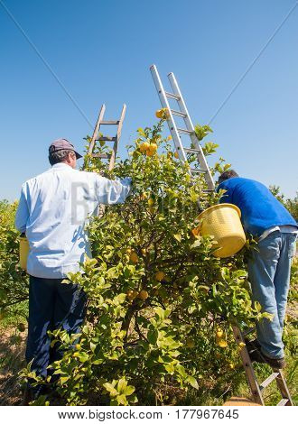 Pickers at work on a wooden ladder during lemon harvest season