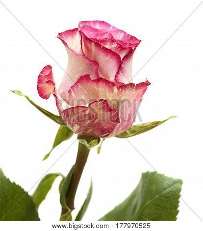 Mottled Green And Magenta Rose