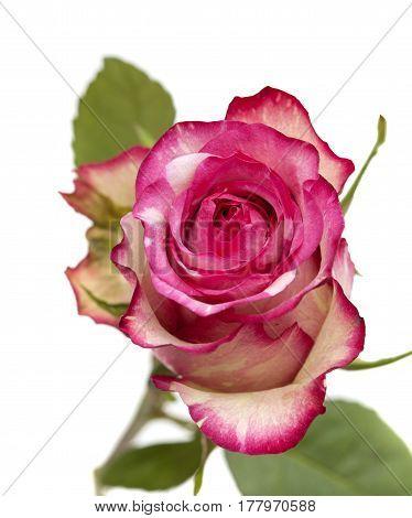Mottle Green And Magenta Rose