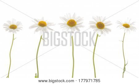 Tender beautiful fragile five chamomile flowers with white petals and yellow center and with a thin green curved stem on a white isolated background
