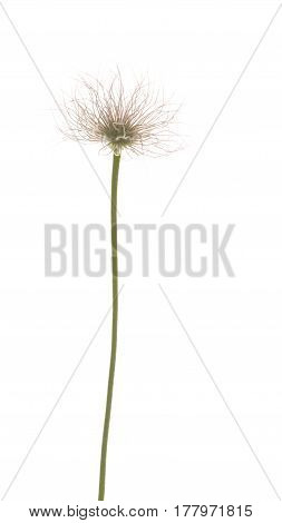 Unusual spring green-pink fluffy flower bulbous plant on a thin stem on a white isolated background