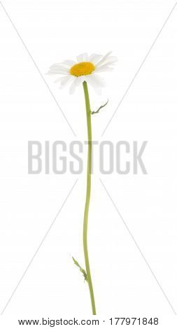 Delicate beautiful fragile chamomile flower with white petals and yellow center and with a thin green curved stalk and small leaves on a white isolated background