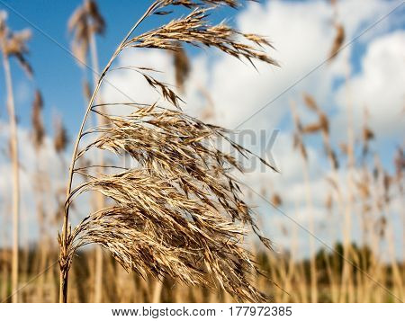 Some lovely crisp and golden reeds with a blue sky and white cloud background