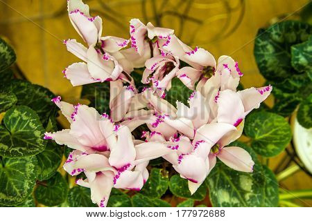 Beautiful Indoor Flower Blooms A Pink Cyclamen
