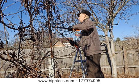 Active elderly man gardener prunes and trims bushes and branches twigs trees in his garden.