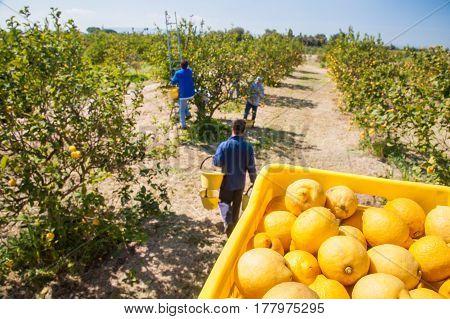 Lemon Harvest Time