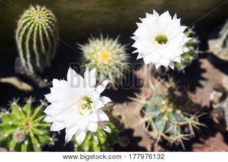 Blossoming Echinopsis cactus and its white flowers.Horizontal image