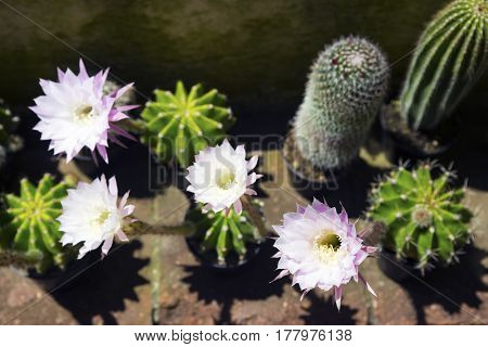 Blossoming Echinopsis cactus and its white flowers.Horizontal image.Selective focus.