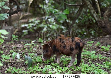 Pigs feeding in the forest at Agua Blanca, near Puerto Lopez, Manabi, Ecuador.  The Agua Blanca community is an indigenous community descended from the Mantena people.  They live a very natural life, in harmony with the earth.  They have their farms and r