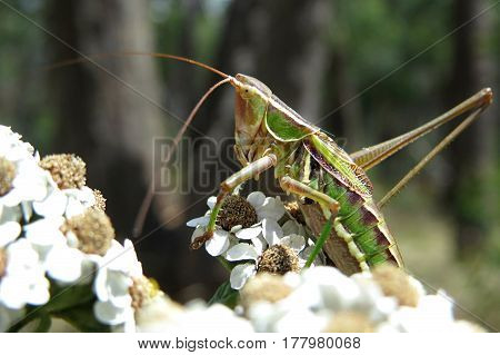 Green grasshopper sitting on yarrow flower plant in the Australian bush