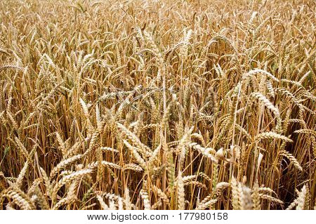 Golden Field Of Wheat In The Summer Background