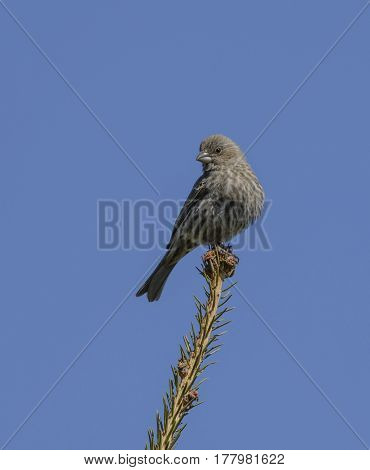 A Female House Finch (Haemorhous mexicanus) looks to the right as it perches at the tip of a branch of a spruce tree in Carroll County Maryland, USA.
