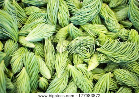 Green Pine Shoots, Freshly Picked. Very Healthy Have Lots Of Vitamins. Texture Background. Smell Of
