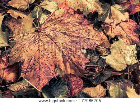 Big Autumn Leaves Of Maybe Maple, Very Interesting Colors And Texture. Dots And Spots Make It Dramat
