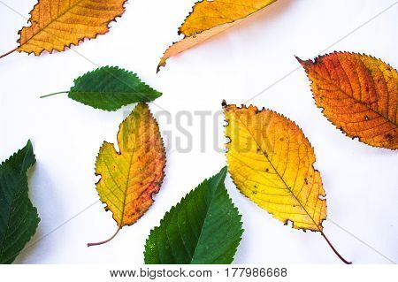 Yellow Red Autumn Leaves And Green Summer Leaves Isolated On White Background. Concept Of Change, Se