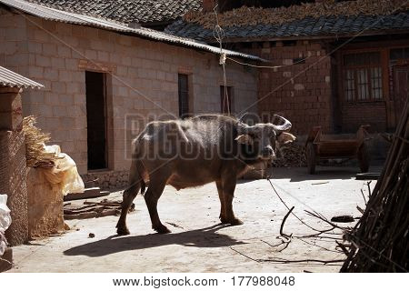 Brown water buffalo ox resting and standing on a farm while the sun is shining on him in the afternoon.