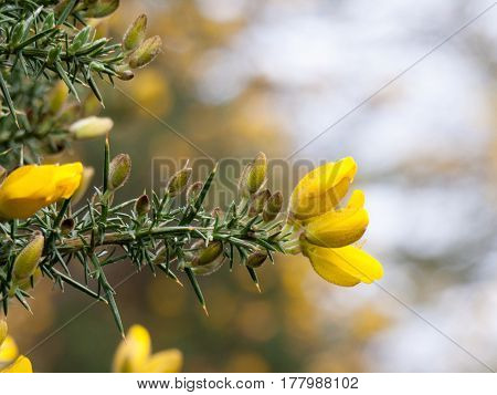 A lovely shot of some lush smelling gorse in spring