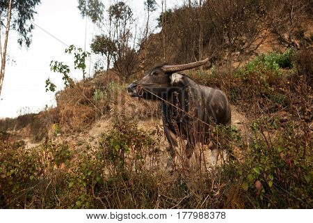 Brown asian ox with leash rope standing on sand hill with some vegetation and nobody around in the morning China.