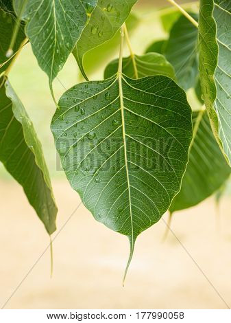 Close up pattern of natural green cordate leaves