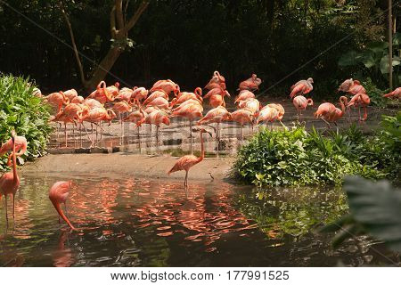 Large group of pink flamingos walking around on the riverside at daytime drinking water in the sun.