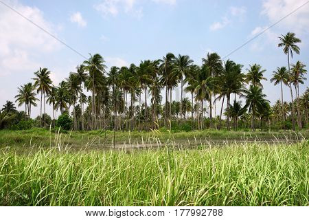 Several palm trees in a row growing on a green field at midday behind green grass flower field Tanjung Pinang.