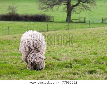 A wooly sheep with his head down chewing on some grass
