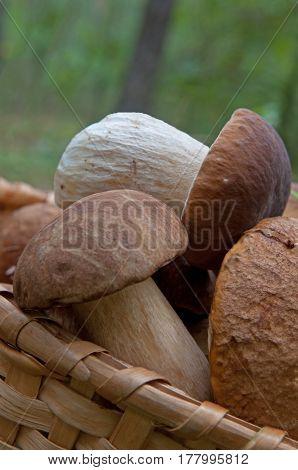 Porcini mushrooms harvest in basket against natural background.