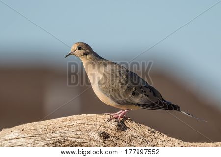 a mourning dove perched on a log