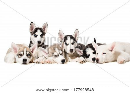 Siberian Husky puppies. Charismatic puppies on a white background. Isolated. One puppy looks at the camera while the others sleep