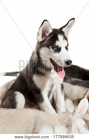 group of happy siberian husky puppies on white. Beautiful puppies. One puppy is sitting and the others are sleeping