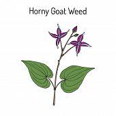 Horny Goat Weed Epimedium sagittatum medicinal plant. Hand drawn botanical vector illustration poster