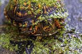 small box turtle covered in green algae poster