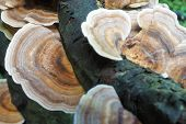 Bracket Fungus on a rotting tree branch in close-up. poster