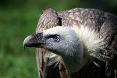 vulture portrait poster