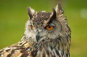 a close uo of a european eagle owl poster