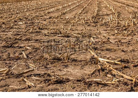 Big Harvested Corn Field With Brown Soil