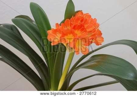 Orange Clivia (Clivia Miniata)