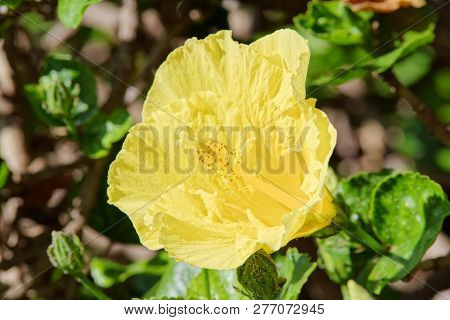 Close-up Of Yellow Hibiscus Blossom. Portuguese Island Of Madeira
