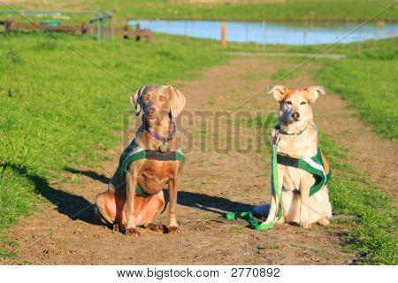 Weimaraner And Australian Shepherd